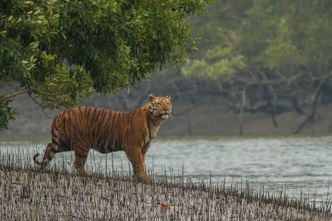 Tiger Safari in SundarbansTiger Reserve