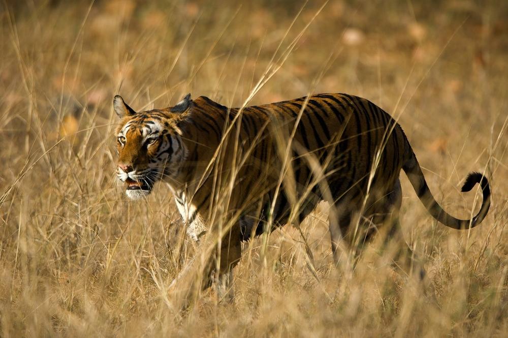 Tiger safari in Bandhavgarh National Park